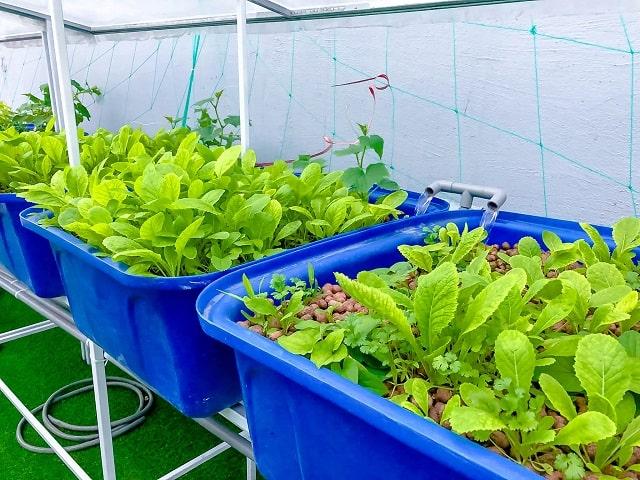 Hướng dẫn trồng rau thủy canh tại nhà