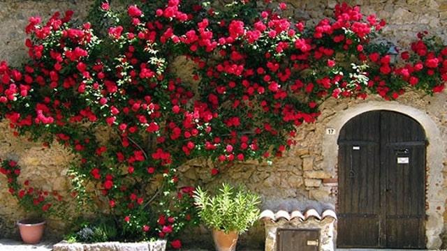 hồng leo trồng bao lâu thì ra hoa