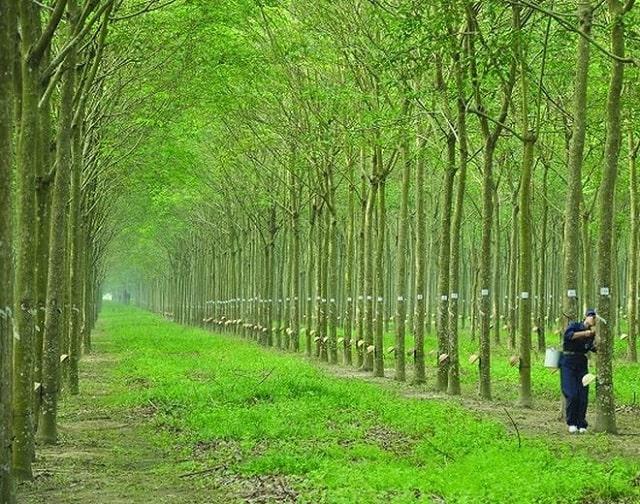 cây cao su thải co2 (1)