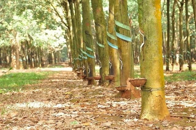cây cao su thải co2 (2)