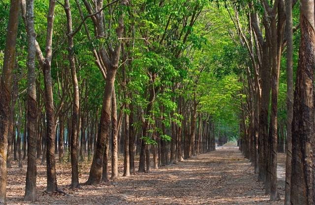 cây cao su thải co2 (3)